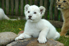 崽狮子白色 库存照片