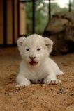 崽狮子白色 图库摄影