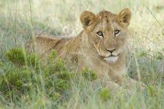 崽狮子 库存照片