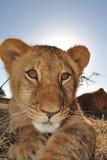 崽狮子 免版税库存图片