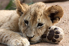 崽狮子 库存图片