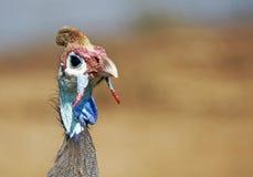 头盔状家畜的几内亚 免版税图库摄影