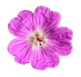 紫红色的野花 库存图片