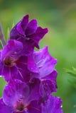 紫罗兰色特写镜头的剑兰弄湿了 免版税图库摄影