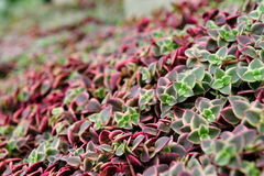 紫色和绿色叶子美丽的河床  图库摄影