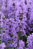 紫色海索草开花(Hyssopus officinalis) 免版税库存图片