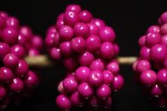 紫色的浆果 免版税库存图片