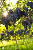 紫色的葡萄 库存照片