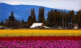 紫色红色黄色郁金香花Skagit华盛顿 免版税库存照片