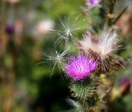 紫色蓟杂草 库存图片
