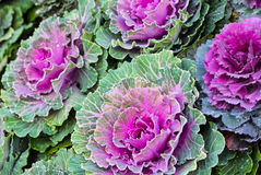 紫色装饰圆白菜 库存照片