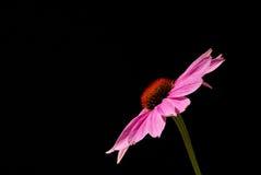 紫色Coneflower 07 库存图片