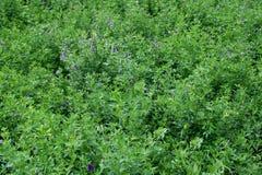 紫花苜蓿 免版税库存图片