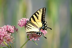 蝴蝶东部母swallowtail老虎 库存图片