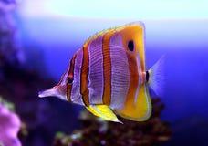 蝴蝶五颜六色的鱼sixspine 免版税库存图片
