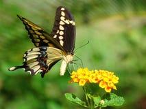 蝴蝶巨人swallowtail 库存照片
