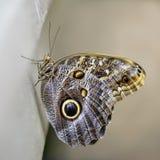 蝴蝶最近涌现了 免版税图库摄影