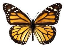 蝴蝶查出的国君 免版税库存图片
