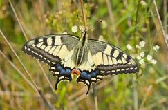 蝴蝶栖所其老swallowtail世界 免版税库存图片