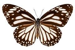 蝴蝶种类丹尼亚斯melanippus 库存照片