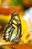 蝴蝶绿沸铜 库存图片