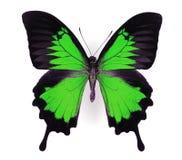 蝴蝶绿色 库存图片