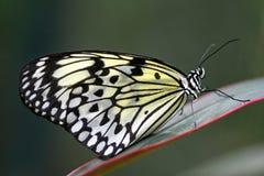蝴蝶美洲红树若虫结构树 免版税图库摄影