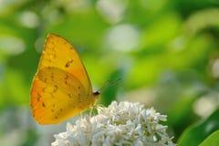 蝴蝶被覆盖的淡黄 免版税库存图片