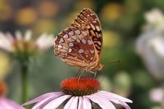 蝴蝶闪烁的贝母极大 库存照片