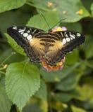 蝴蝶cardui夫人被绘的蛱蝶 图库摄影
