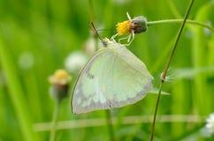 蝴蝶catopsilia移居柠檬波诺马 免版税图库摄影