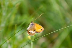 蝴蝶coenonympha glycerion 库存照片