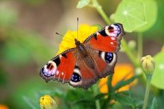 蝴蝶inachis io 图库摄影