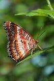 蝴蝶lacewing的红色 免版税库存照片