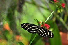 蝴蝶longwing的斑马 免版税图库摄影