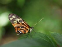 蝴蝶longwing的老虎 图库摄影
