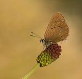 蝴蝶maculinea nausithous天空 免版税图库摄影