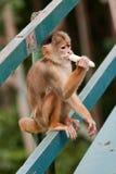 巴西公用马瑙斯猴子灰鼠 免版税库存照片
