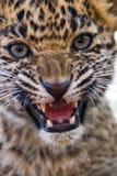 崽豹子吼声 图库摄影