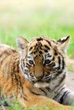 崽逗人喜爱的西伯利亚老虎 免版税库存照片