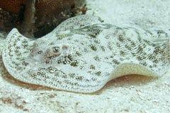 洪都拉斯披巾被察觉的黄貂鱼黄色 免版税库存图片