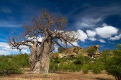 猴面包树横向结构树 库存图片