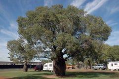 猴面包树结构树。 库存图片