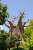 猴面包树 库存图片