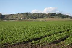茴香领域在卡拉布里亚,意大利 免版税库存照片