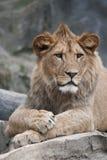 巴贝里狮子 库存图片