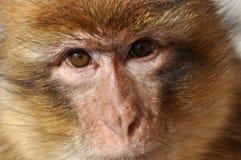 巴贝里猕猴属短尾猿sylvanus 免版税图库摄影