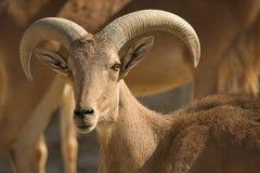 巴贝里男绵羊 免版税库存图片