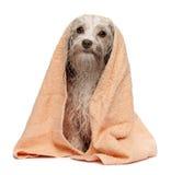 浴havanese巧克力的狗弄湿了 免版税库存照片