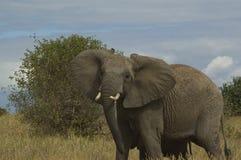 0 ελέφαντας Τανζανία Στοκ φωτογραφία με δικαίωμα ελεύθερης χρήσης